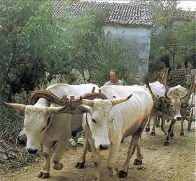 oxen-yoked1tm400
