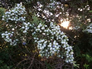 Cedar berries and light