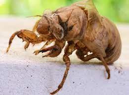 cicada-shell
